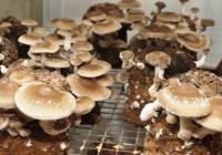 Как выращивать грибы шиитаке в Молдове