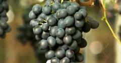 Первую партию молдавского винограда экспортировали в США