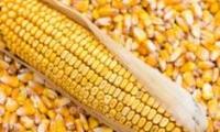 Почему обанкротились два из трёх предприятий по переработке семян кукурузы