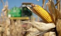 Republica Moldova a început să importe masiv porumb. Care este prețul unui kilogram
