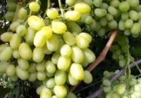 Виноградная столица Костешты, Молдова – защита винограда от дождя, града и тепличный виноград, (часть 2)