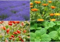 Ароматические и лекарственные растения - отрасль с большими перспективами для Молдовы