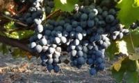 В Молдове ожидается высокий урожай столового винограда