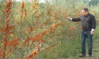 Фермер рассказал, как выращивать облепиху в Молдове
