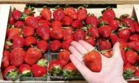 Căpșuni ecologice, la început de noiembrie. Este vorba de o plantație în satul Hristoforovca, raionul Ungheni