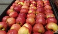 График экспорта молдавских яблок в Россию отстает от прошлогоднего