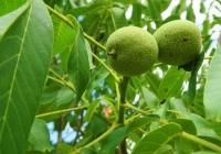 10 га орехового сада дают доход, равный 1,5 кг чистого золота