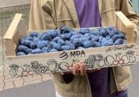 """Prunele moldovenești au ajuns la consumatorii din Franța: """"Fructele din Moldova sunt cele mai gustoase din lume"""""""
