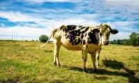 Государство окажет финансовую поддержку фермерам, разводящим крупный рогатый скот, овец и коз
