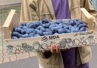 Молдавские сливы начали продаваться на крупнейшем оптовом рынке Парижа (видео)