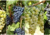 Soiurile de struguri autohtone - factorul ce determină caracterul unic al vinului Moldovei